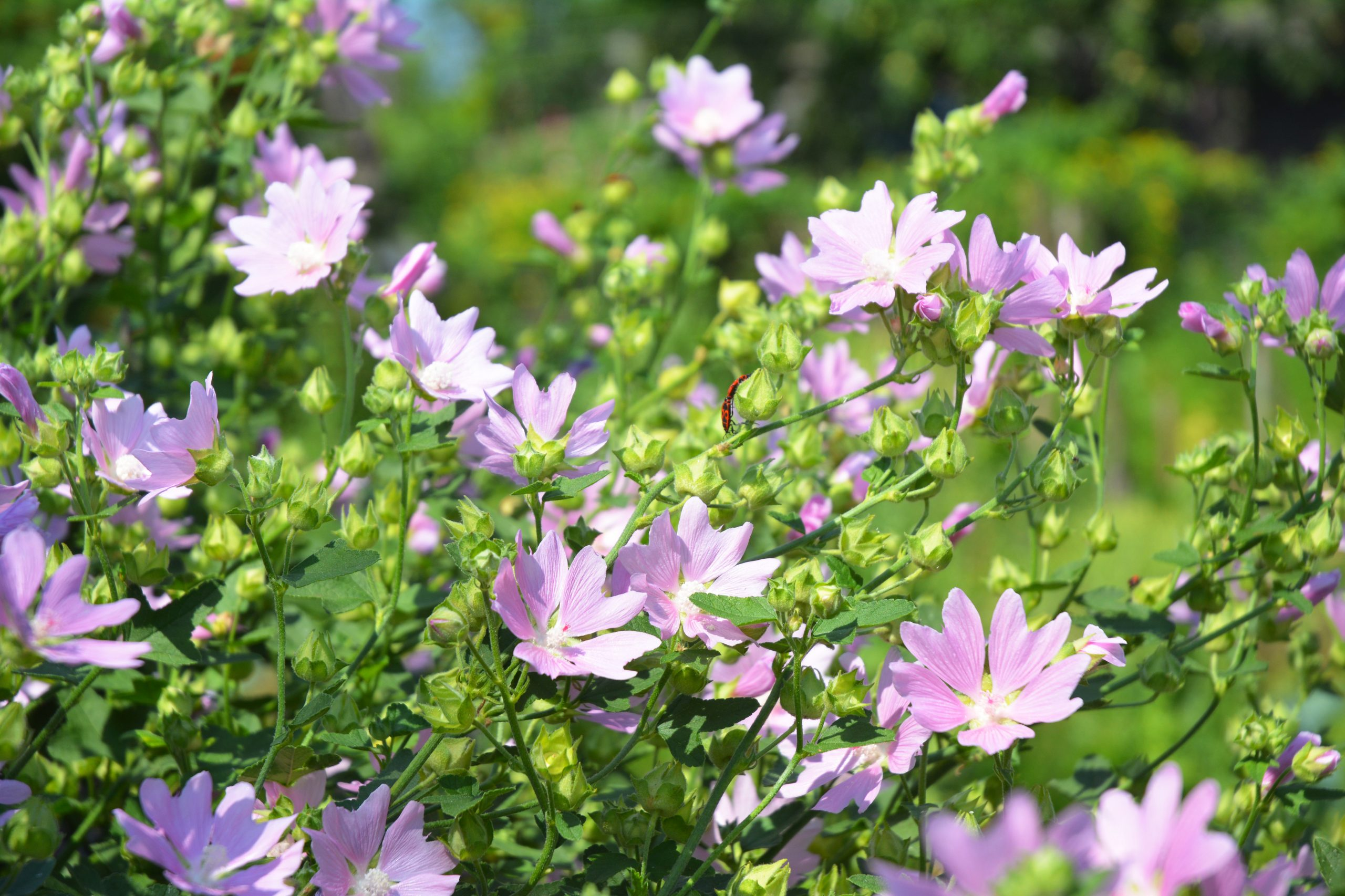 Althaea officinalis or marsh mallow flowers. Marshmallow is used as a medicinal plant and ornamental plant.